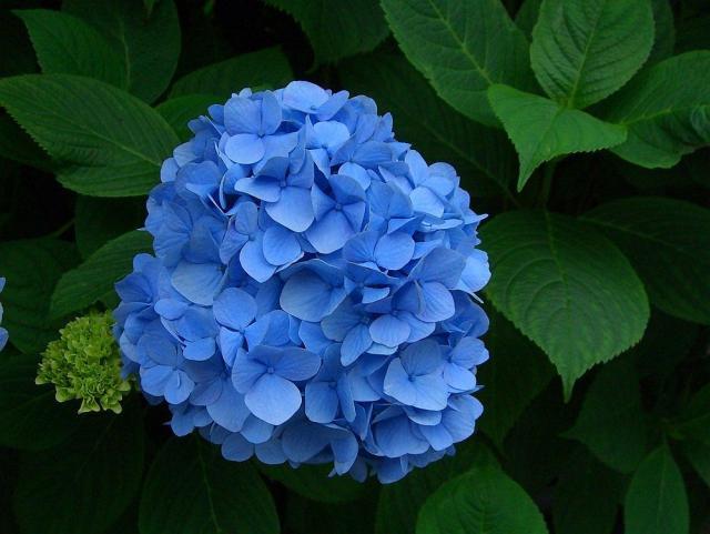 紫陽花-クリックして大きな画像でご覧下さい